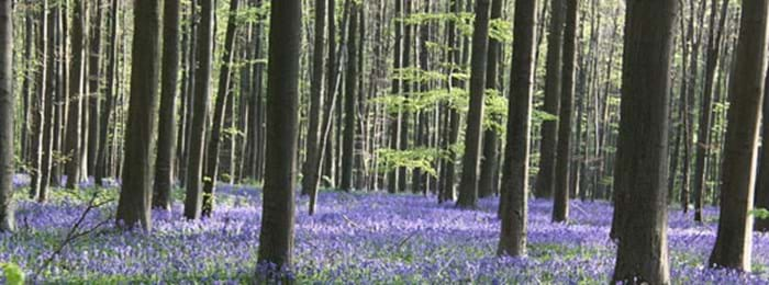 Follow the Bluebell Walk
