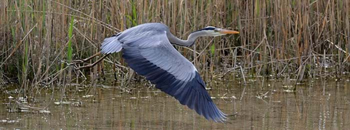 Look out for grey herons