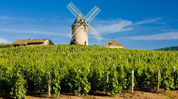 Beaujolais is covered with carefully tended vineyards