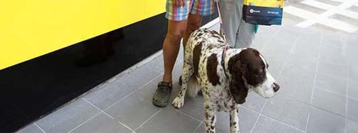 Maggy, l'Epagneul Springer Anglais