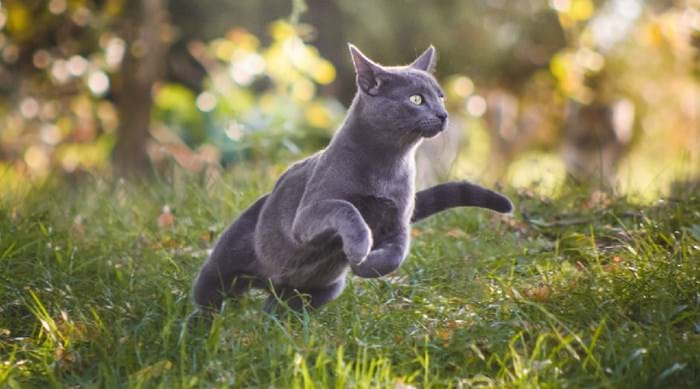 We love the Russian Blue, but what's your favourite breed of cat
