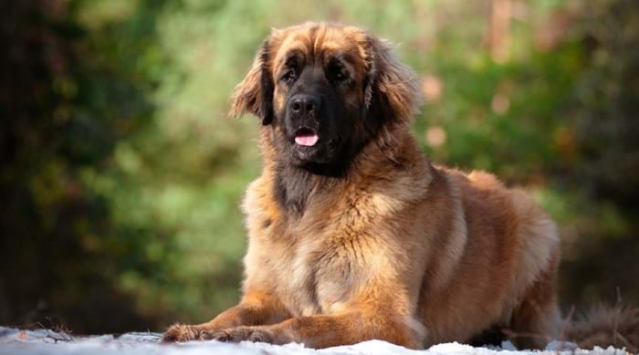 A great chance to witness the amazing Leonberger at its best