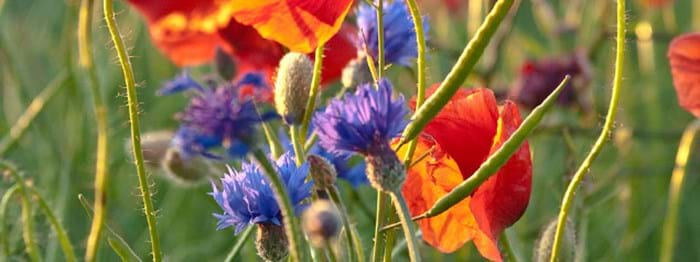 remembrance-day-bleuet image