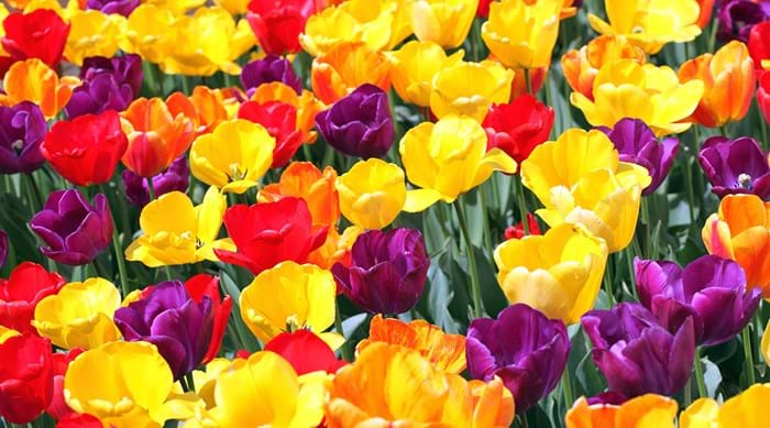 Holland's famous colourful tulips