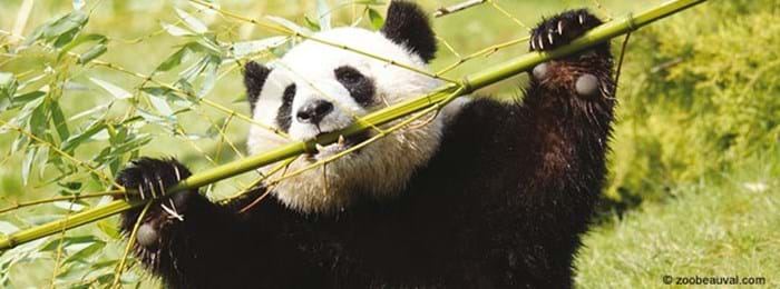 Visit the pandas at Zoo Parc de Beauval